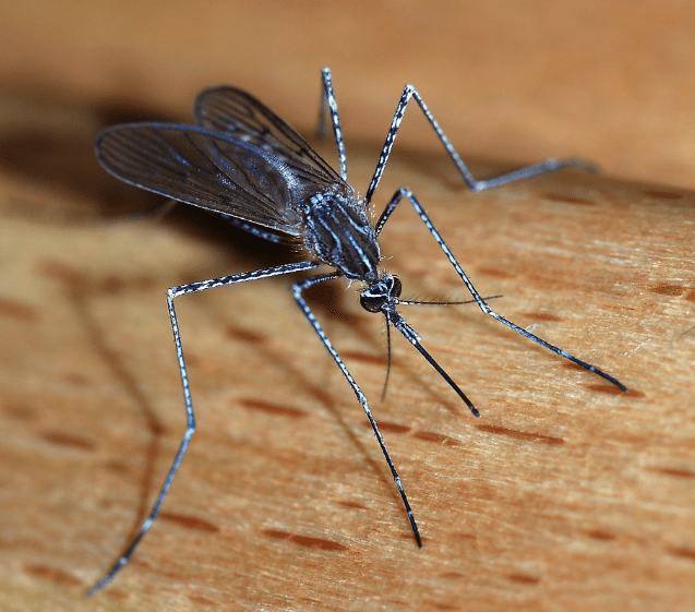 May's Pest of the Month: Mosquitoes
