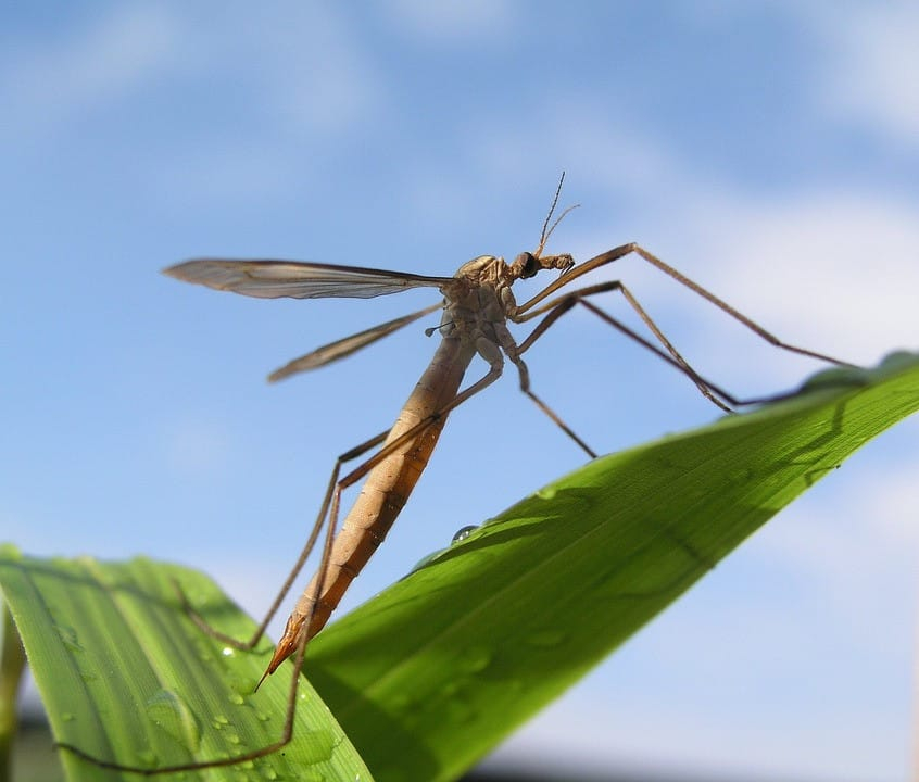 March's Pest of the Month: Mosquito Hawks